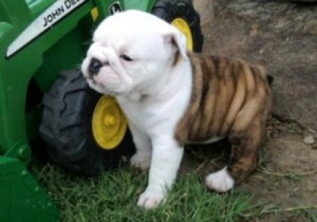 Adorable male and female English bulldog puppies ready now.