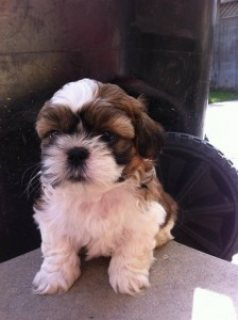 صور Shih Tzu Puppies for Sale.... 1