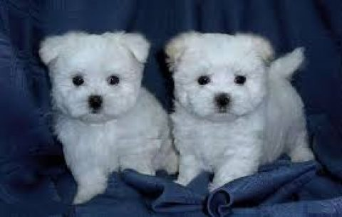Cute Maltese Pups Available for sale