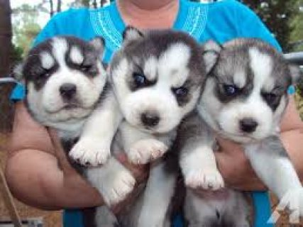 صور Stunning Blue-eyed Siberian Husky Puppies for sale..,,..,., 1