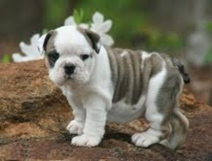 Registered English Bulldog.............///////////////
