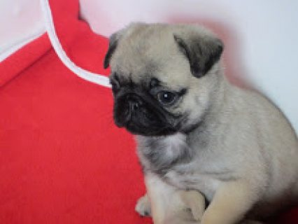 صور Available Pug Puppies 1
