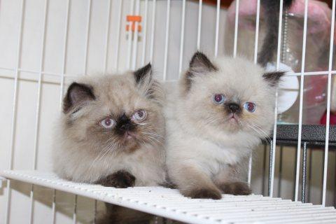 قطط هيمالابا بيكي فيس مستوي عالي