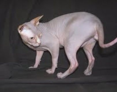 $Beautiful Sphynx kittens