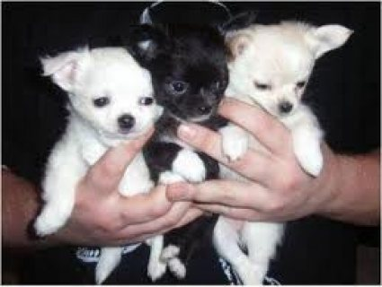Beautifull Chihuahua Puppies for Rehoming....................///