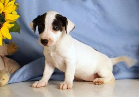 صور Jack Russel puppies for Adoption.great looking puppies 1