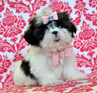 Shihtzu Prince and princess ready for sale
