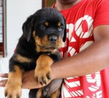 صور Rottweiler c puppies out for adoption 1