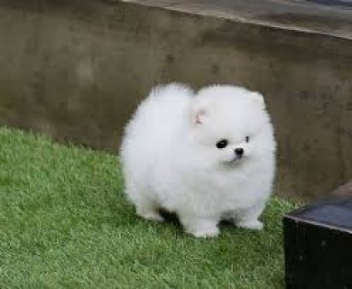 Micro Charming Teacup Pomeranian Puppies for sale