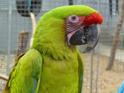 Breeding Pairs of exotic pet parrots for sale