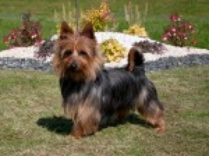 Australian Terrier Puppies And Adults For Sale  Motherwell, Lana