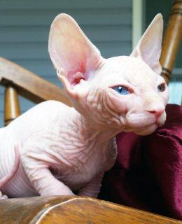 رويال سفين بيت القطط القطط تأتي مع: الضمان -up -Health حتى الآن