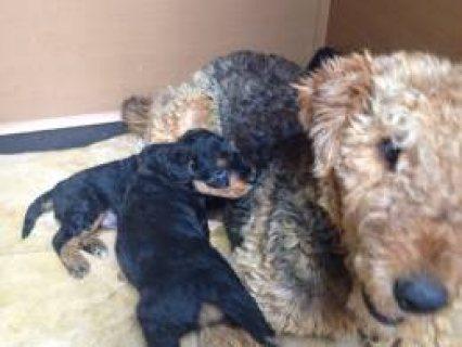 Stunning K.c Airedale Terrier Puppies  Hemel Hempstead, Hertford