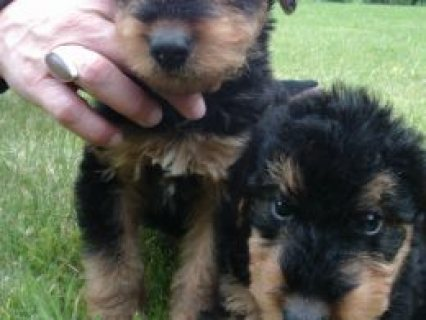 Kc Reg Airedale Puppies  South Molton, Devon £800 stunning kc re