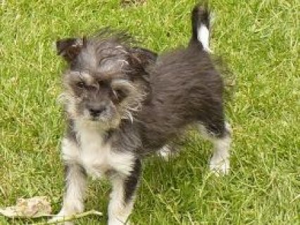 Small Morkie Fully Vaccinated 1 X Girl  Downham Market, Norfolk