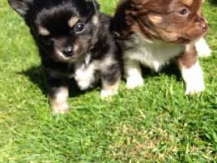 Beautiful. L/c Kc Reg Chihuahua Boy Puppies  Neath, Neath Port T