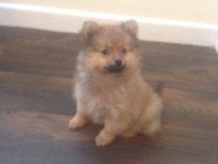 Fabulous Pomeranian Red Sable Puppies  Ormskirk, Lancashire £450