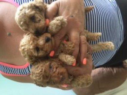 KC Regd Toy Poodle Puppies  3 Kc Regd Toy Poodle Puppies  Verwoo