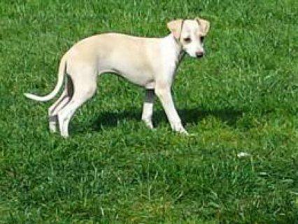 Italian Greyhound -stunning American Bloodlines.  Market Drayton