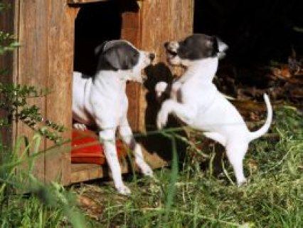 Beautiful Purebred Italian Greyhounds  Pontyclun, Rhondda Cynon