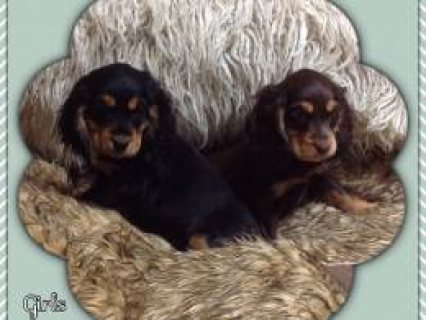 KC Reg Black&Tan Cocker Spaniel Puppies  11 Kc Reg Black&tan Coc