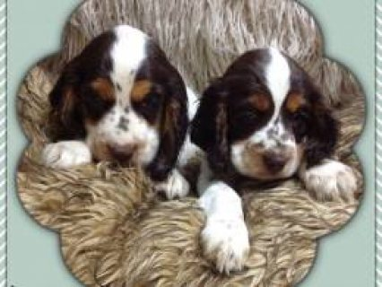 Stunning Kc Reg Cocker Spaniel Puppies  Wisbech, Cambridgeshire