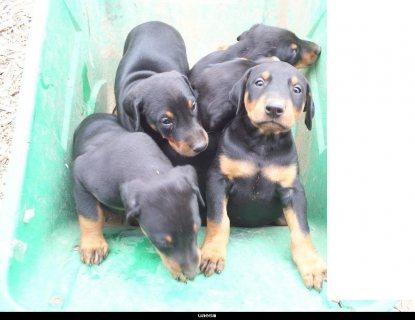 كلاب دوبر مان للبيع