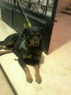 كلب روت ويلر الماانى