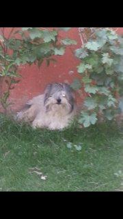 كلب شيدزو