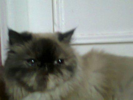 قطة بيكي فيس هملايا