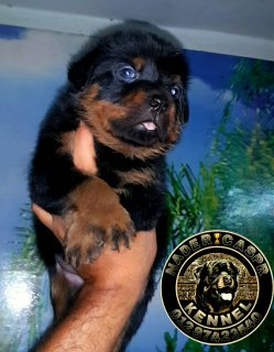 for sale male & female rottweiler