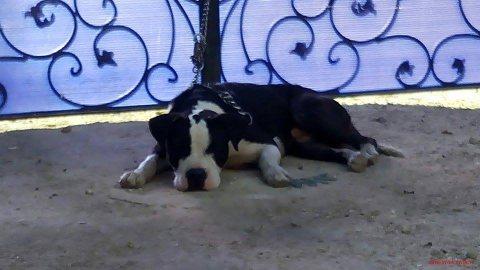 كلب بوكسر جميل جدا دكر وبيسمع الكلام
