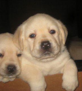 cute labradors