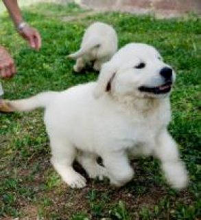 cute gloden retriever