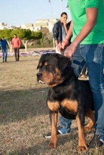 مطلوب كلب روت وايلر للتبني أو هاسكي مجانا وعندي ال