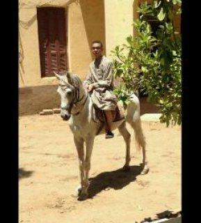 حصان عربى اصيل مختوم صقلاوى