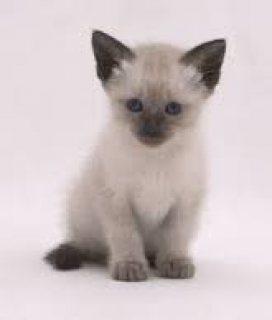 قطط سيامى للبيع