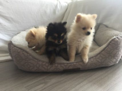 RARE ULTRA TINY TEACUP POMERANIAN PUPPIES