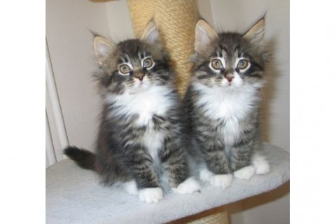 Male and female Maine Coon Kittens For Adoption..