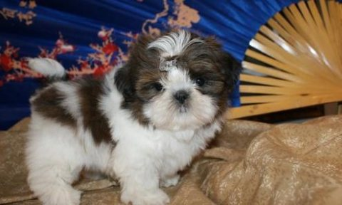 Shih Tzu puppies../././