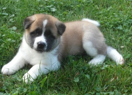صور Sensitive Male and Females Akita Puppies Ready for Adoption - 1