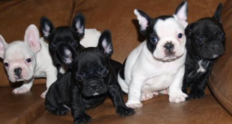 صور Adorable french bulldog puppies.. 1