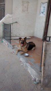 كلب جيرمنى بيور (انثى )