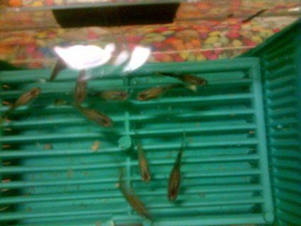 سمك زينه جوبي للبيع