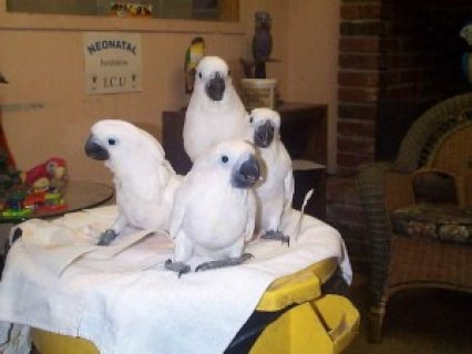Pretty White Umbrella Cockatoos for sale