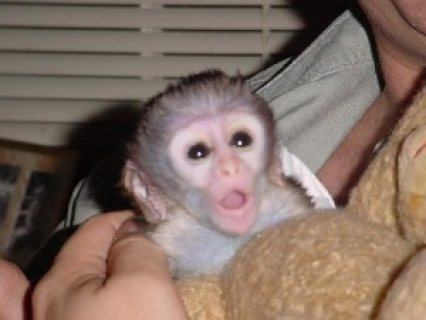 Adorable capuchin monkeys