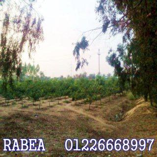 اراضى زراعية للبيع مزرعة للبيع بالاسماعيلية 20 فدان برتقال