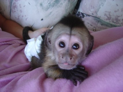 Adorable Capuchin Monkey   She is 3 months old Capuchin monkey.