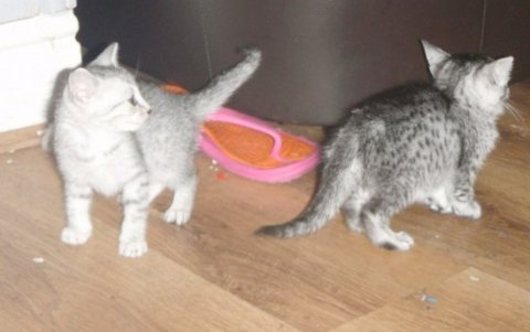 Egyptian Mau Kittens for sale.