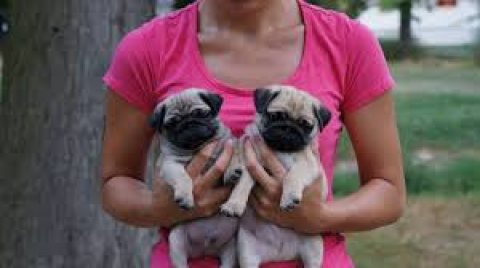 Sweet male and female pug puppies ready for sale.